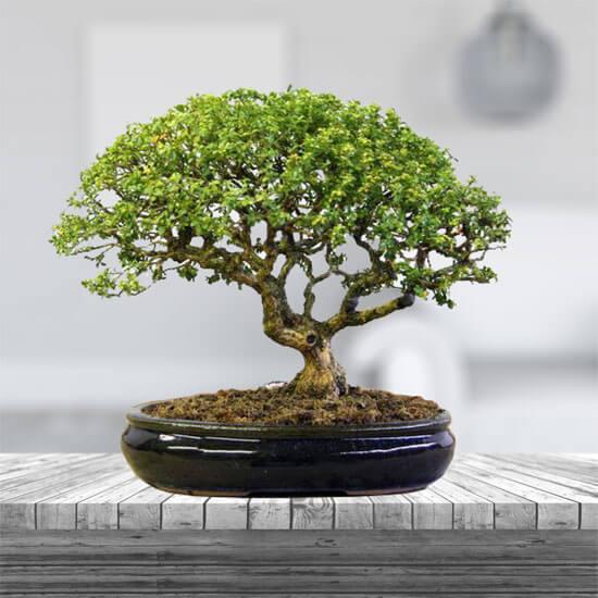 Bosai Plants
