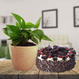 Money Plant with Black Forest