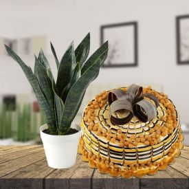Snake Plant with Butter Scotch