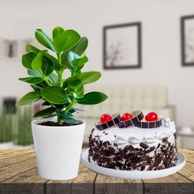 Clusia Rosea With Black Forest Cake