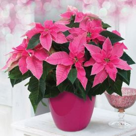 Potted Poinsettia (pink) Plant