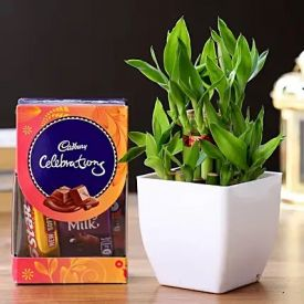 Bamboo Plant & Cadbury Celebrations