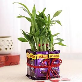 Lucky Bamboo With Dairy Milk Chocolates