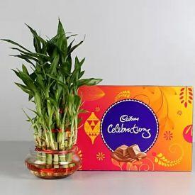 Lucky Bamboo with Cadbury Dairy Celebrations