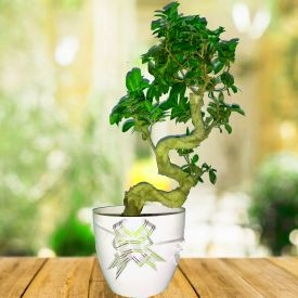 Bonsai Plant with white pot