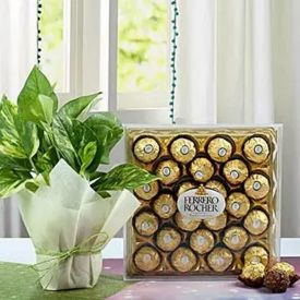 Money Plant With Rocher