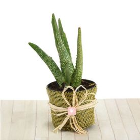 An Aloe Vera Plant