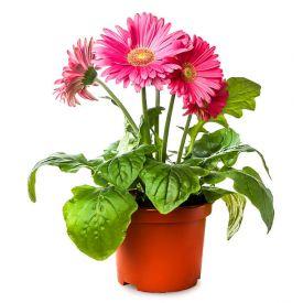 Pink gerbera Plant