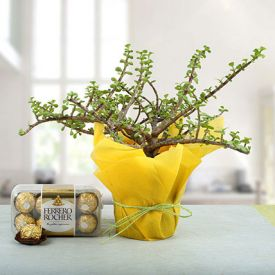 Jade Plant with Ferrero Rocher
