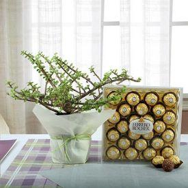 Jade Plant with Ferrero Rocher