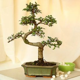 Elm 'S' Shape Bonsai Plant
