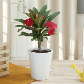 Potted Euphorbia Cactus Plant