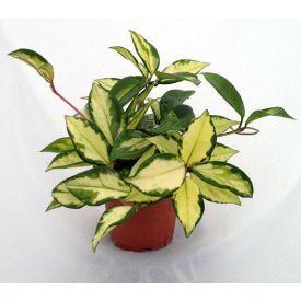 Lemon & Cream Wax Plant