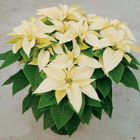 Poinsettia (Yellow) - Plant