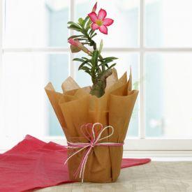 Desert Rose Adenium Plant