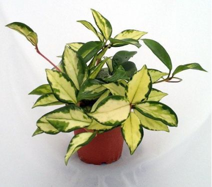 Lemon & Cream Wax Plant