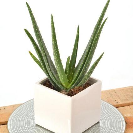 Aloevera With Sqaure Vase