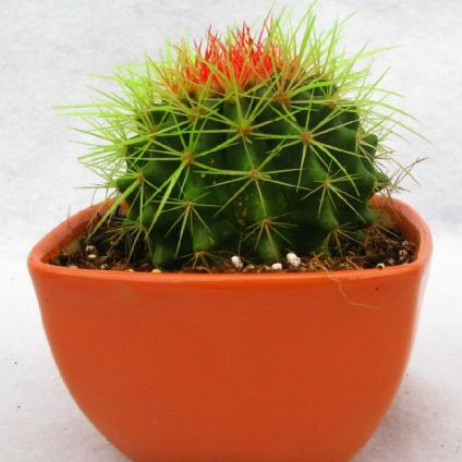 Non-Grafted Green-Orange Cactus