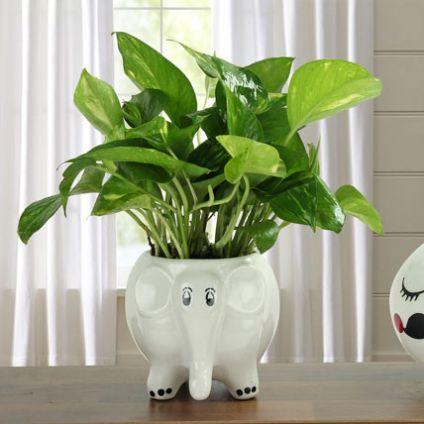 Freshen Up Money Plant