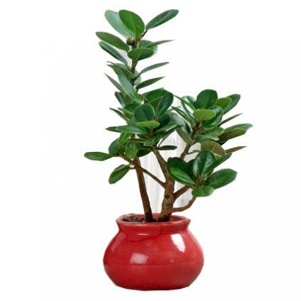 Green Ficus Dwarf Be