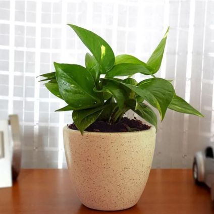 Amazing Money plant
