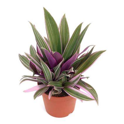 Rhoeo Spathacea Compacta - Plant