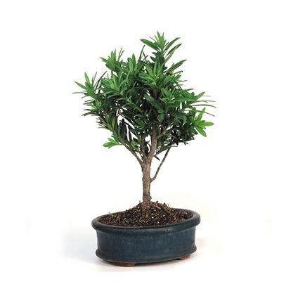 Classic Podocarpus Bonsai Plant