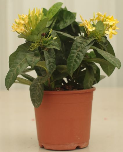 Yellow Ixora plant
